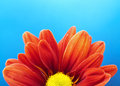 Vivid Orange Flower on Blue background Royalty Free Stock Image