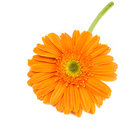 Vivid orange gerbera daisy lies on white background with copy space Royalty Free Stock Photo