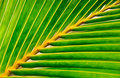 Vivid palm leaf Royalty Free Stock Image