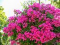 Vivid purple bracts of bougainvillea in a park Royalty Free Stock Photo
