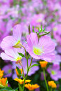 Vivid Purple Spring And Orange...
