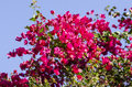 Vivid Red Bougainvillea Flowers against a Blue Sky Royalty Free Stock Photo