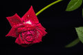 Vivid red rose with drops of dew on the petals Royalty Free Stock Photo