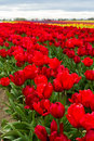 Vivid red tulips beautiful in a farm in oregon shot on a cloudy spring afternoon Royalty Free Stock Images
