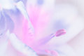 Vivid sweet pastel color petal lily in soft color and blur style Royalty Free Stock Photo
