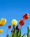 Vivid tulips Royalty Free Stock Photography