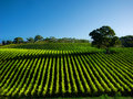 Vivid Vineyard Royalty Free Stock Photos