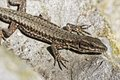 Viviparous lizard or common lizard from germany europe lacerta vivipara Stock Image