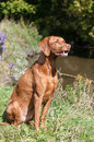 Vizsla dog outside in autumn a sits on the bank of a stream Royalty Free Stock Image