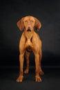 Vizsla dog standing on the black background Royalty Free Stock Photo
