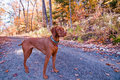 Vizsla Dog Standing on a Road in Autumn Royalty Free Stock Photo