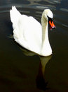 Vocal swan this has something to say about it shown with open mouth Stock Photography