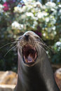 Vocalizing sea lion Royalty Free Stock Photography
