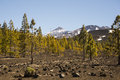 Volcano teide and pine forest a yellow tree in front of the on tenerife canary islands Stock Photo