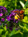 Volucella zonaria - Hoverfly macro on purple butterfly bush