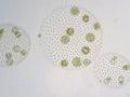 Volvox is genus of chlorophyte green algae Royalty Free Stock Photo