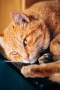 Vreedzaam weinig rode kitten cat sleeping on bed Royalty-vrije Stock Afbeeldingen