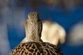 Vrouwelijke wilde eend duck looking out over het meer Royalty-vrije Stock Afbeeldingen