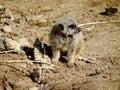 Vulnerable Baby Meerkat Royalty Free Stock Photo