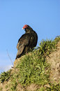 Vulture american or new world scavenger bird known in chile as jote Royalty Free Stock Photo