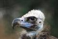 Vulture Bird Head