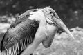 Vulture bird ugly skin resting on ground black and white Royalty Free Stock Photo
