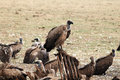 Vulture close up Royalty Free Stock Images