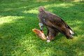 Vulture eats carrion Royalty Free Stock Photo