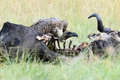 Vulture feeding on a kill Royalty Free Stock Photo