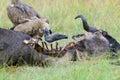 Vulture feeding on a kill Royalty Free Stock Photo