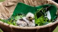 Vulture fledgling a sitting in a basket with some leaves Royalty Free Stock Photography