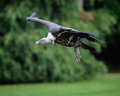 Vulture in flight coming to land Stock Image