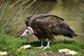 Vulture on grass brown neophron monachus among food chicks Royalty Free Stock Image