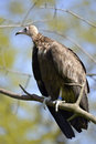 Vulture perched on branch brown neophron monachus Royalty Free Stock Photo