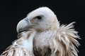 Vulture Royalty Free Stock Photo