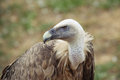 Vulture Profile