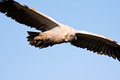 Vulture soaring flying against blue sky Stock Images