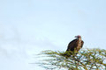 Vulture standing top tree lot blue sky shot serengeti tanzania Stock Photo
