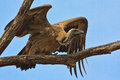 Vulture take off white backed gyps africanus about to flight fron a dead tree in the kruger national park Stock Photos