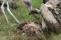 Vultures Eating - Serengeti, Tanzania, Africa Royalty Free Stock Photo