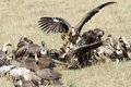 Vultures fighting in a wake Royalty Free Stock Photo