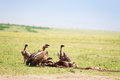 Vultures flock eating kill at African savannah Royalty Free Stock Photo
