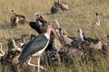 Vultures on a kill, Mara, Kenya. Royalty Free Stock Photo