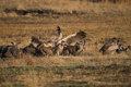 Vultures on a kill in South Africa Royalty Free Stock Photo