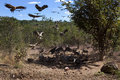 Vultures at a kill zimbabwe african landing the remains of near victoria falls in lappet faced and white backed Royalty Free Stock Photo