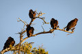 Vultures low angle view of on a tree branch fort myers lee county florida usa Stock Images