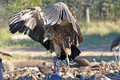 Vultures spreads its wings Royalty Free Stock Photo