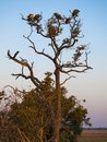 Vultures on a tree at sunrise in the Chobe Natural Park in Botswana, Africa