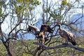 Vultures in Tree Royalty Free Stock Photo