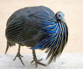 Vulturine guineafowl 2 Royalty Free Stock Photography